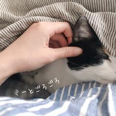 ワンルームインテリア/猫との時間/猫のいる部屋/猫との生活/にゃんこ/三毛猫14歳/... ミー助とベッドでごろごろ。  幸せタイム…
