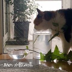 観葉植物のある暮らし/水耕栽培/断捨離中/シンプルインテリア/ワンルーム/猫との生活/... 我が家でいちばん日当たりの良い場所なだけ…
