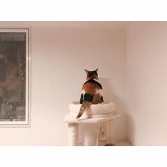 ワンルームと猫/ワンルームインテリア/一人暮らしと猫/一人暮らし/ひとり暮らし/にゃんこ同好会/... 壁に話しかけてるミー。  しっぽでお返事…