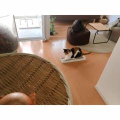 断捨離/猫にマタタビ/猫と一人暮らし/猫と賃貸/賃貸インテリア/一人暮らしインテリア/... 爪とぎを交換しましたФωФ  新しいもの…(7枚目)