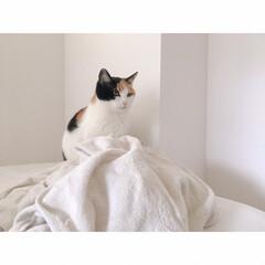 猫の爪遊び/猫とブランケット/猫あるある/猫とインテリア/猫と一人暮らし/猫と賃貸暮らし/... なんでもないわよ。  って顔してるけ…