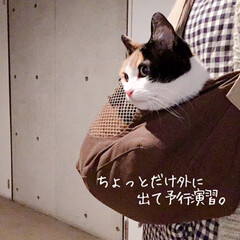 猫の避難訓練/猫の災害対策/猫のいる暮らし/猫のいる生活/猫と一人暮らし/ペットスリング/... やっと買えました、ペットスリング!  コ…(8枚目)