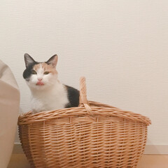猫のいる風景/猫のいる部屋/猫との暮らし/猫との生活/一人暮らしインテリア/ワンルームインテリア/... ミー助、カゴに入って悪い顔ФωФ