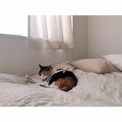 猫との暮らし/猫とインテリア/猫と賃貸/猫と一人暮らし/無印良品/うちの子ベストショット こっち(カメラ)を気にしながらも …(3枚目)