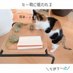 猫と掃除/一人暮らしインテリア/猫との暮らし/猫とインテリア/猫と賃貸/猫と一人暮らし/... 掃除はいつも、ミーとの戦い。(2枚目)