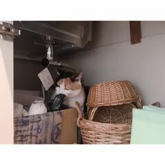 猫と一人暮らし/猫と賃貸/猫とインテリア/猫との暮らし 週に一度の掃除の日。 …