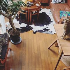猫/アメショー/多頭飼い/アメリカンショートヘアシルバータビー/サバンナキャット/ねこ/... おはよう‼️ 今日も元気に…。