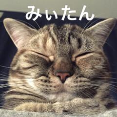 マンチカン/マンチカン女の子/マンチカン短足/猫/写真 みぃたん