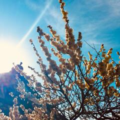 写真/梅 去年の梅。 広小路で有名な梅の神社。 梅…(4枚目)