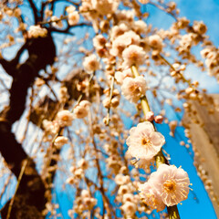 写真/梅 去年の梅。 広小路で有名な梅の神社。 梅…