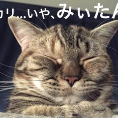 マンチカン/マンチカン女の子/マンチカン短足/猫/写真 みぃたん(3枚目)