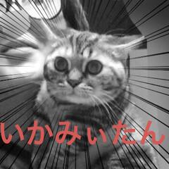 マンチカン/マンチカン女の子/マンチカン短足/猫/写真 みぃたん(8枚目)