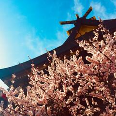 写真/梅 去年の梅。 広小路で有名な梅の神社。 梅…(6枚目)