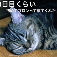 マンチカン/マンチカン女の子/猫/写真/マンチカン短足 みぃたん、人の子になる! 初めて我が家に…(3枚目)