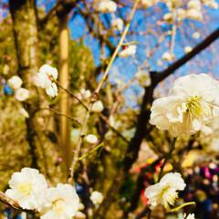 写真/梅 去年の梅。 広小路で有名な梅の神社。 梅…(2枚目)