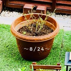 強剪定/蕾/庭づくり/庭/我が家の庭/初心者/... ミニバラ☆   今年は  水不足だったの…(2枚目)