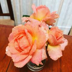 住まい 大雨の中、咲くバラを救出🌹  早く止みま…(1枚目)
