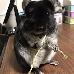 ねずみ/チンチラ/小動物/おうち/2018/フォロー大歓迎/... 二刀流😆✨小松菜です笑