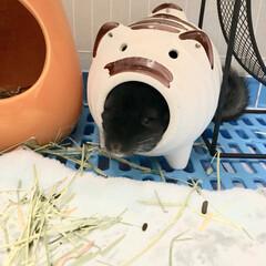 ねずみ/チンチラ/小動物/ペット/おうち/2018/... 豚さんにハマる大ちゃん😆笑 最近のお気に…