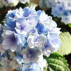 紫陽花/母の日のプレゼント/令和の一枚/LIMIAファンクラブ/至福のひととき/LIMIAインテリア部/... 母の日に、家族からもらった大好きな紫陽花…