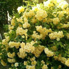 ガーデニング 庭のモッコウバラが満開に咲きました💕