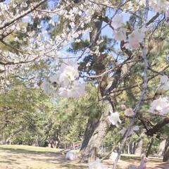 風景/はじめてフォト投稿 季節外れの桜