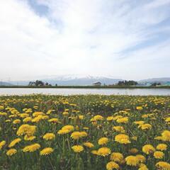 風景/風景写真 工房にて。 北海道はタンポポの季節ですね…
