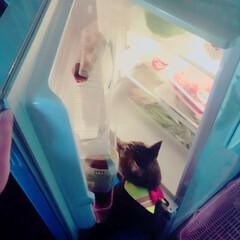 冷蔵庫/ぽっちゃり猫/愛猫/親バカ さて 今日もママより先に 冷蔵庫チェック…