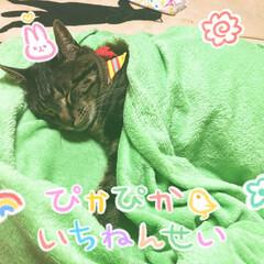 ぽっちゃり猫/愛猫/親バカ ぐっすり 寝てたから 写メをwww