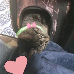 キャリーバッグ/ぽっちゃり猫/保護猫/自慢の息子/愛猫 最近はキャリーの中で寝るのがブームらしい…(3枚目)