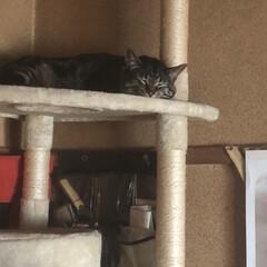 キャットタワー/ぽっちゃり猫/親バカ/愛猫 1番上で 寝てた😆