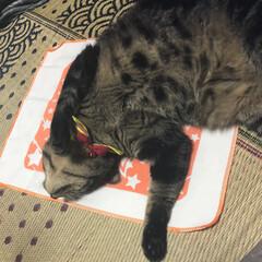 ねこモテシート/親バカ/愛猫/ぽっちゃり猫 ねこモテ シート を買ってみたら…w ゴ…