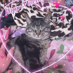 バレンタインデー/親バカ/愛猫/ぽっちゃり猫 happyValentine🎀