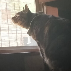 ニャルソック/親バカ/愛猫/ぽっちゃり猫 毎日の日課☘️  鳥さん達を見て〜 お外…