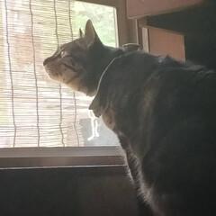 ニャルソック/親バカ/愛猫/ぽっちゃり猫 毎日の日課☘️  鳥さん達を見て〜 お外…(2枚目)