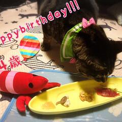 うちの子記念日/保護猫/自慢の息子/ぽっちゃり猫 日が明けてしまったが…昨日はチビさんの …(1枚目)