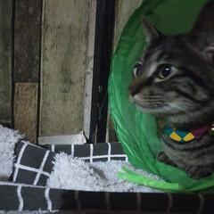 トンネル遊び/ぽっちゃり猫/愛猫/親バカ 僕のお気に入り😁✌️  毎日 トンネル遊…