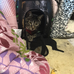 愛猫/ぽっちゃり猫/キャリーバッグ/フォロー大歓迎 キャリーが嫌いな チビさんの為に 最近は…