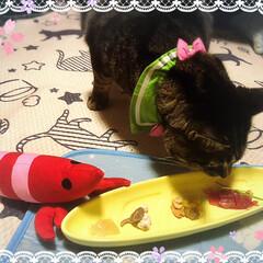うちの子記念日/保護猫/自慢の息子/ぽっちゃり猫 日が明けてしまったが…昨日はチビさんの …(2枚目)