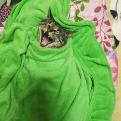ぽっちゃり猫/愛猫/親バカ ウチの アクビちゃんwww 凄い顔www