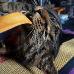 自慢の息子/保護猫/ぽっちゃり猫/愛猫 孫の手ガシガシwww(2枚目)