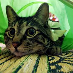 ぽっちゃり猫/親バカ/愛猫 トンネルから こんにちは www