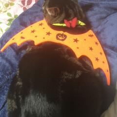 コスプレ衣装/ハロウィン/ぽっちゃり猫/愛猫/親バカ/100均deハロウィン ハロウィン🎃 が近いので…  チビさんに…