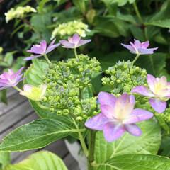 紫陽花/花/暮らし 一足早く、庭の紫陽花が咲きました。 花の…