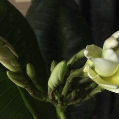 プルメリア/蕾/花/住まい/暮らし ようやくプルメリアの花が咲きそうです🌸