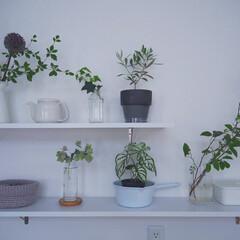 植物のある暮らし/梅雨/ボタニカル/DIY/インテリア/キッチン/... キッチン緑化計画☺︎ キッチン背面のdi…