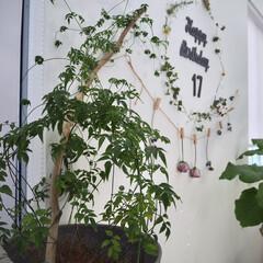 観葉植物のある暮らし/ドライフラワー/春のフォト投稿キャンペーン/LIMIAインテリア部/雑貨/ハンドメイド/... 羽衣ジャスミンが元気! 新芽がにょきにょ…(1枚目)