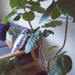 ウンベラータ/夏インテリア/ファッション/インテリア/家具/ニトリ/... あつさ攻略法はグリーン 部屋中いたるとこ…