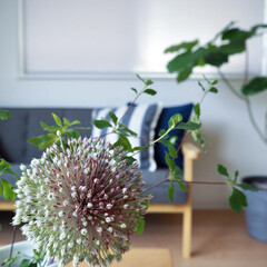 インテリア/おうち/ソファ/花と暮らす/植物のある暮らし/夏仕様 ソファー周りを夏仕様に。 アリウムギンガ…
