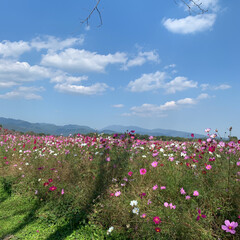 秋桜/はにわ園/森林浴/次のコンテストはコレだ!/お弁当/おでかけ/... 昨日は全国的にいいお天気だったのでポカポ…